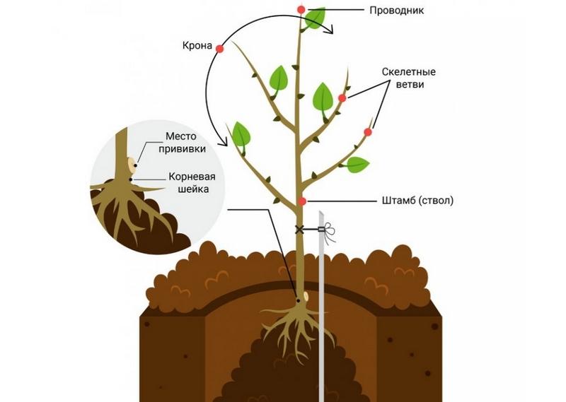 Схема посадки плодового саженца