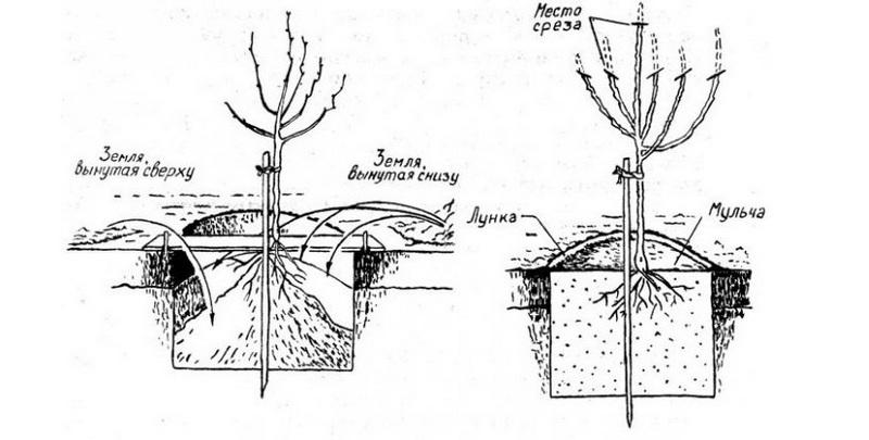 Схема посадки саженца груши