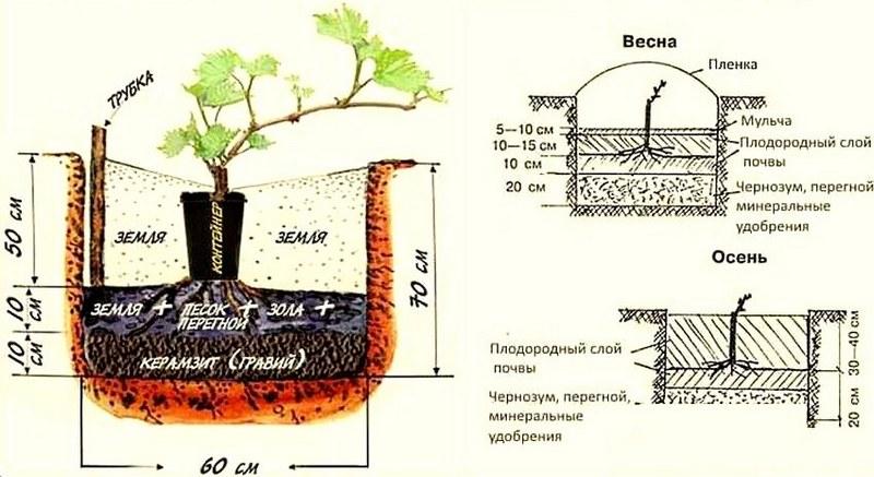 Технология посадки саженца винограда весной и осенью