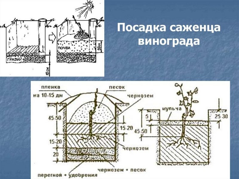 Схема правильной посадки саженца винограда