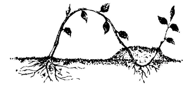 Схема размножение груши отводками