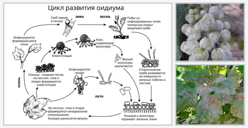 Схема развития оидиума