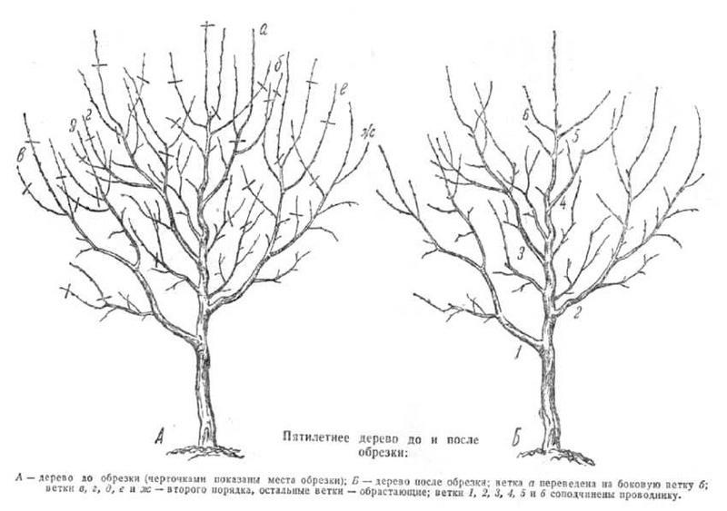 Схема регулирующей обрезки груши