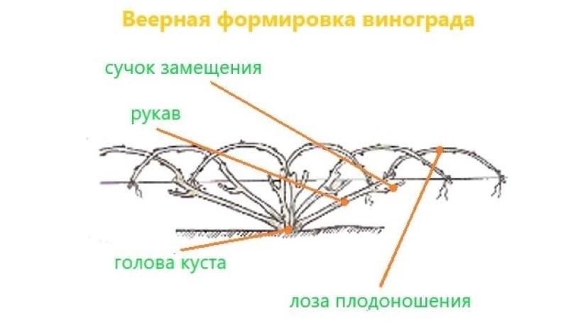 Схема веерной бесштамбовой обрезки винограда