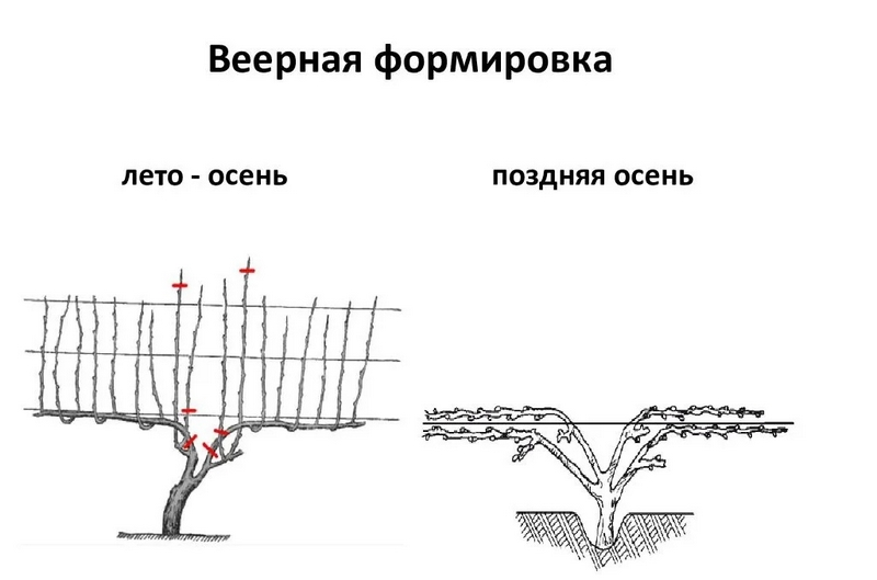 Схема веерной формировки куста винограда