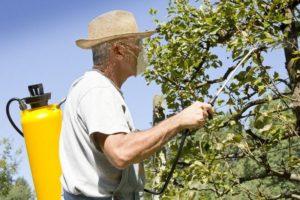 Следует опрыскивать груши фунгицидами каждые две недели в течение лета