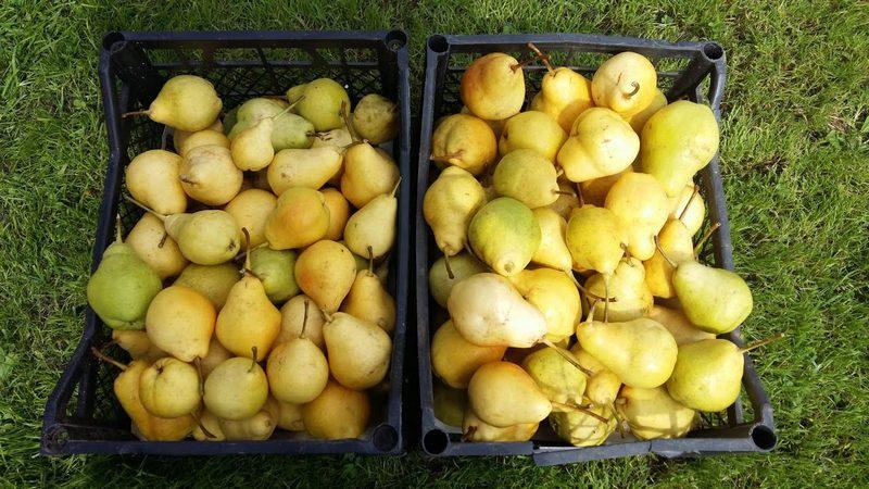 Со взрослого дерева можно снять до 50 кг плодов