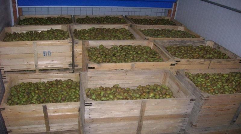 Сохранить урожай груш в отличном состоянии можно в погребе или подвале