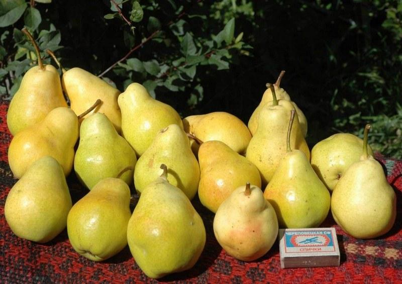 Сорт Лада относится к ранним летним сортам, поэтому её плоды не подлежат длительному хранению