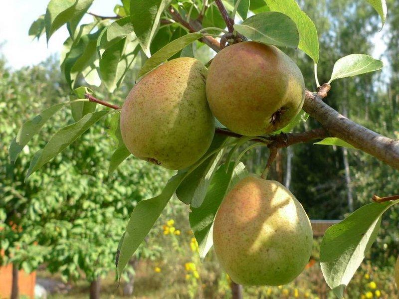 Сорт Северянка отличается средней устойчивостью к засухе