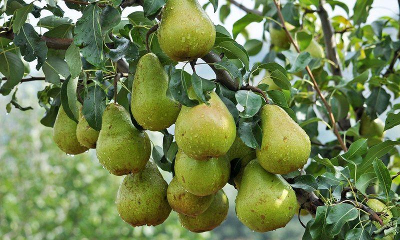 Сорт груш Просто Мария имеет повышенную сопротивляемость к большинству болезней, характерных для фруктовых деревьев