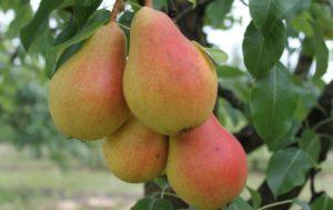 Сорт характеризуется регулярным и обильным плодоношением