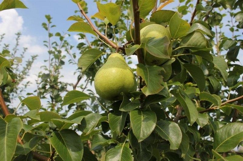 Сорт приспособлен к суровому климату и способен выдержать низкие температуры