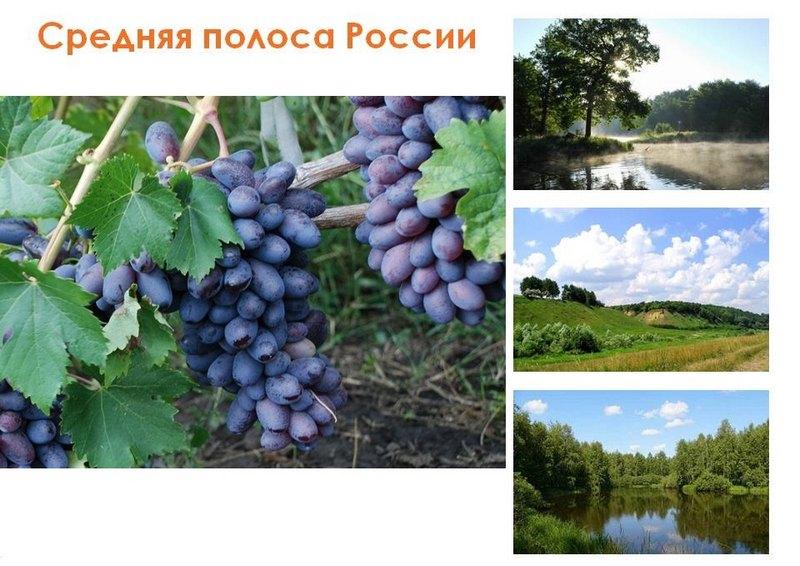 Сорт винограда Байконур рекомендован для выращивания в Средней полосе России