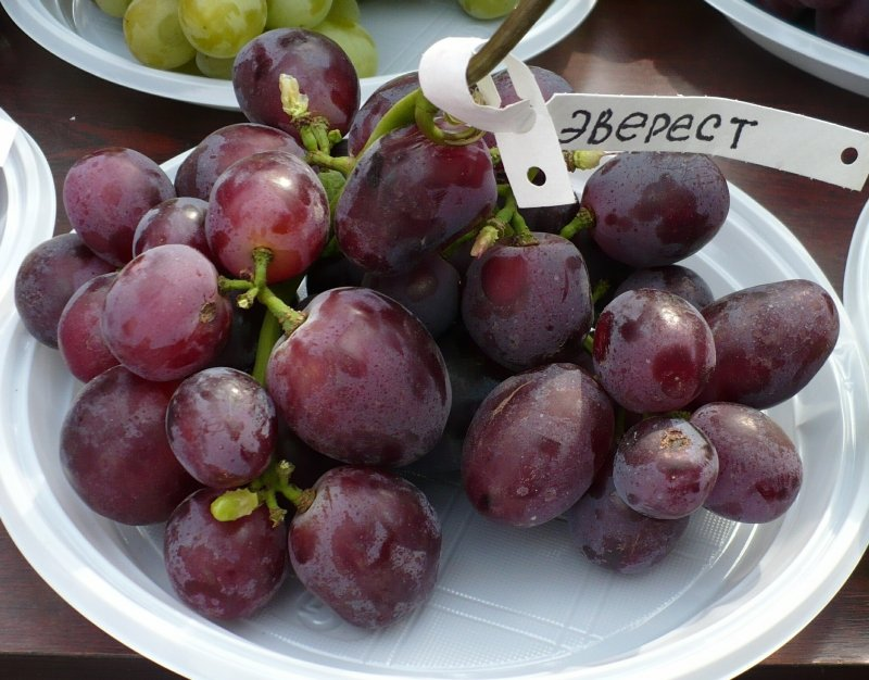 Сорт винограда Эверест заслужил признание, благодаря целому списку положительных характеристик