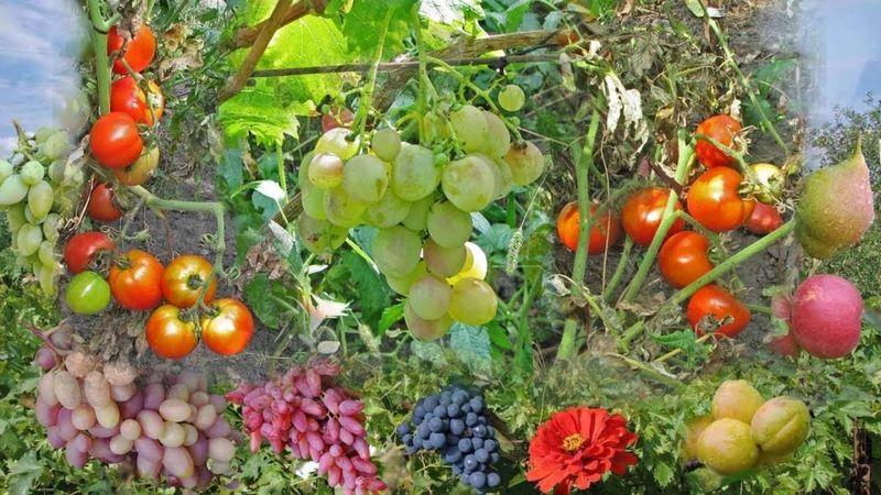 Соседство винограда с определенными культурами может повлиять на показатели плодоношения