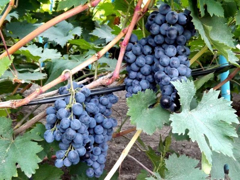 Спелые ягоды имеют насыщенный синий цвет, мякоть сочная, мясистая