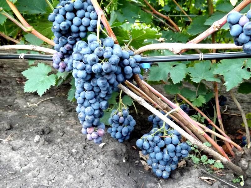 Среди положительных сторон винограда садоводы отмечают высокую урожайность и крупный размер ягод