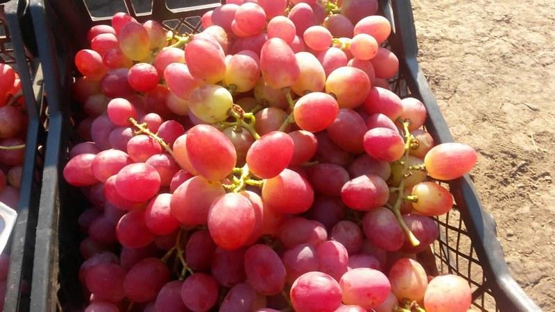 Срок хранения винограда не превышает 4- х месяцев