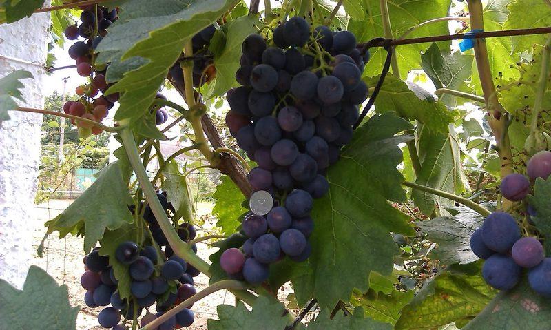 Столовый виноград Страшенский был выведен специалистами НИИВиВ Молдавии путем скрещивания нескольких сортов
