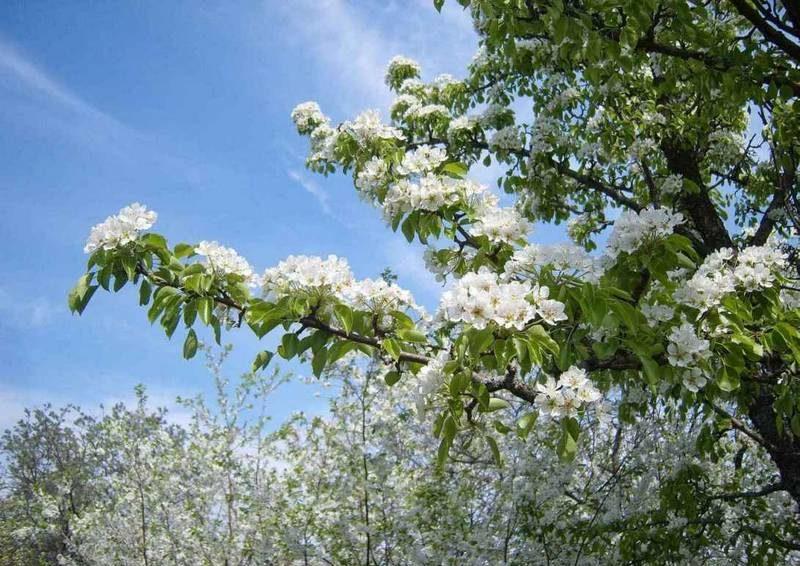 Цветение груши начинается в конце апреля-первой половине мая
