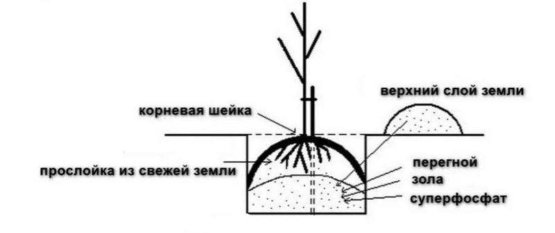 Технология посадки саженца груши