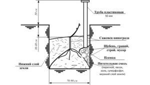 Технология посадки саженца винограда