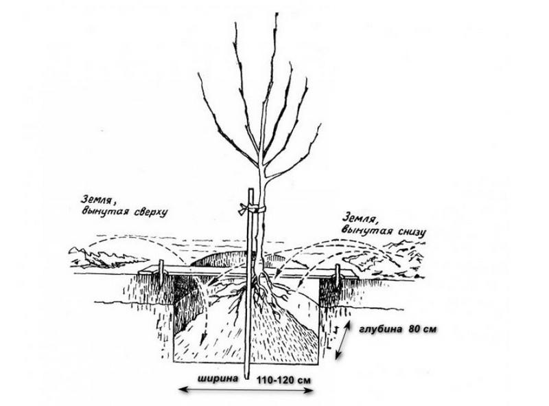 Технология посадки саженцев груши