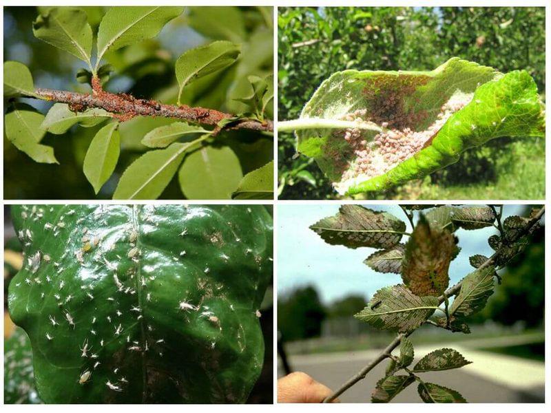 Тля питается мякотью листьев и молодых побегов груши