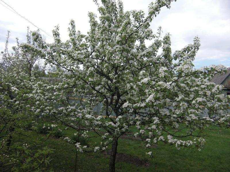 Традиционно груши зацветают в конце апреля или в начале мая