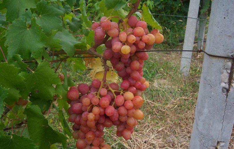 Виноград может висеть на лозе до начала морозов, не теряя своего качества