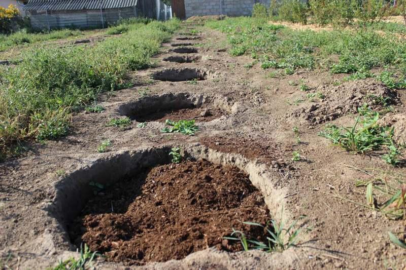 Участок, для выращивания груш, должен быть защищенным от холодных ветров и сквозняков