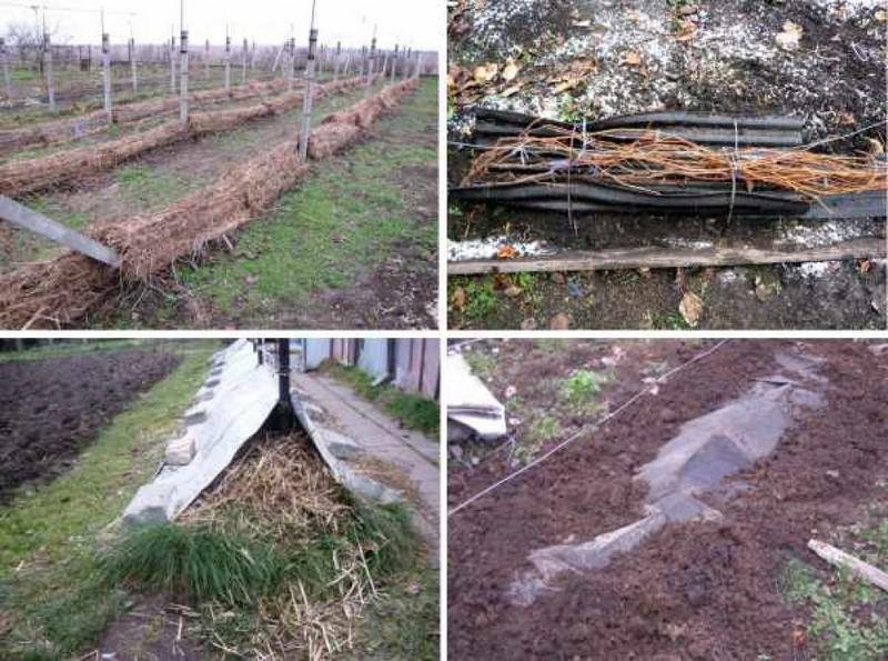 Укрытие винограда на зиму – важное мероприятие, от которого зависит рост и плодоношение куста в будущем сезоне