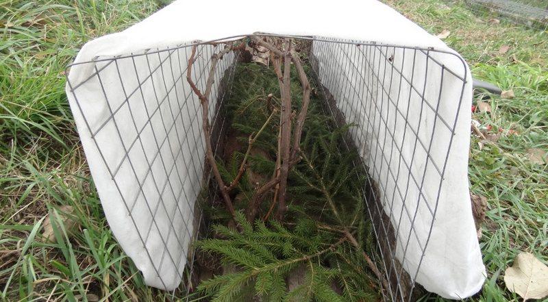 Укрывать виноград на зиму следует в в северных регионах России, где температура опускается ниже 20ºС мороза