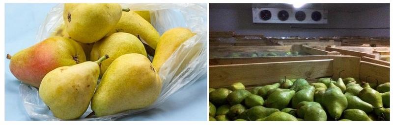Урожай груш рекомендуется расфасовать по пакетам из полиэтилена и поместить в погреб или подвал