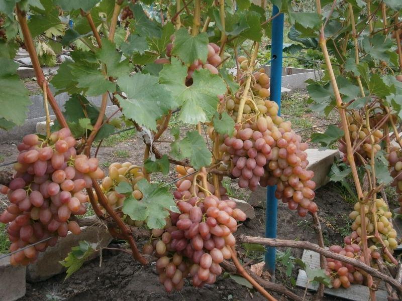 Урожайность винограда доходит до 12 тонн с 1 гектара