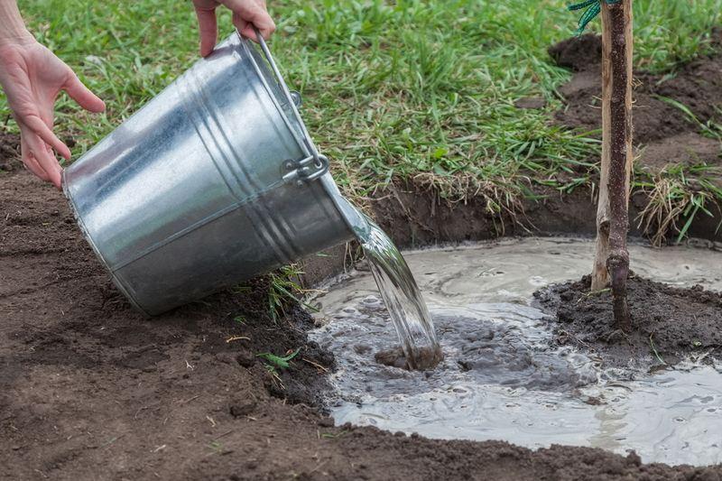 Расход воды при поливе деревьев должен составлять до 3-х вёдер