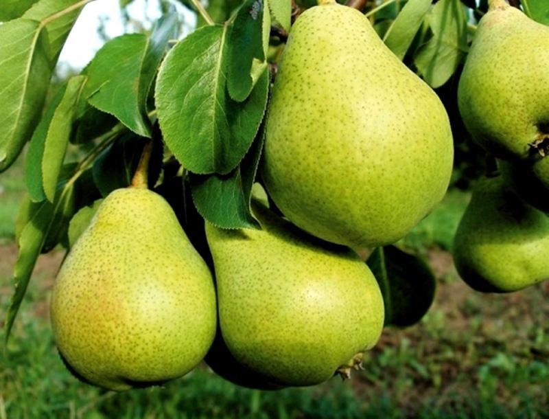 В полное плодоношение деревья вступают на 4 или 5 год после посадки