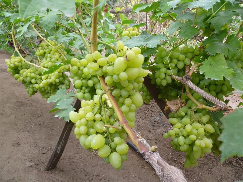 Вегетационный период винограда составляет 100-115 суток