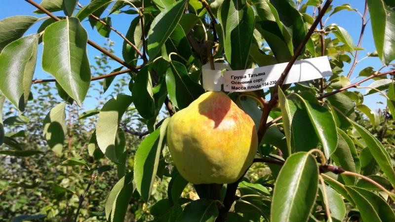 Вес плодов колеблется между 160-280 граммами