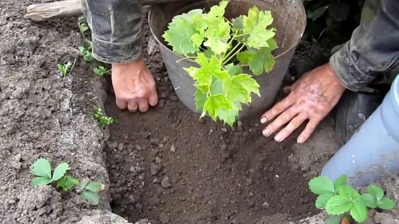 Весенняя посадка дает уверенность в хорошем укоренении виноградного саженца