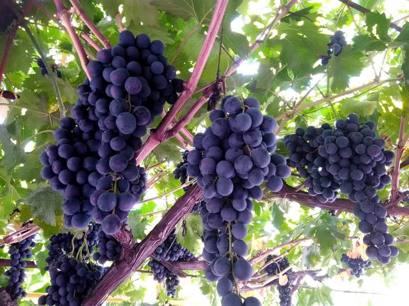 Виноград Страшенский - гибридный сорт, который широко распространен среди садоводов