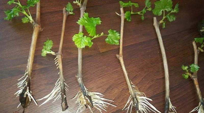 Виноград можно размножить черенками