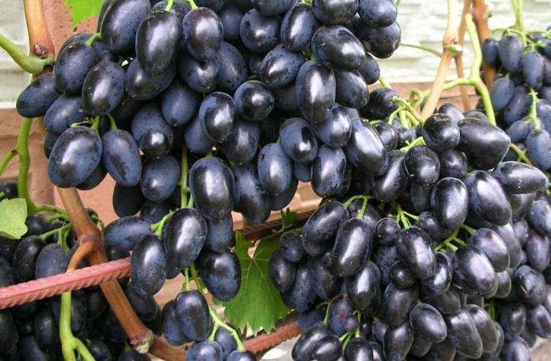 Виноград поспевает во второй или начале третьей декаде августа