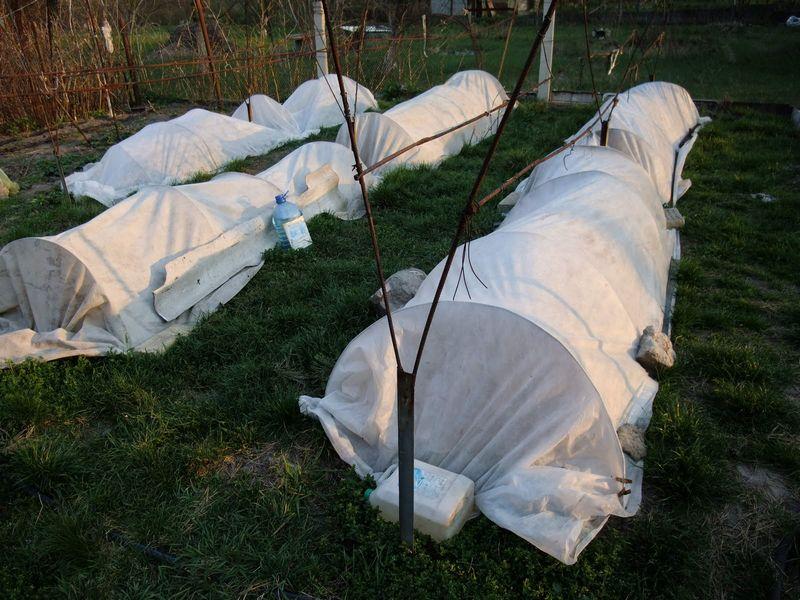 Виноград рекомендуется укрывать на зиму практически во всех регионах, кроме южных