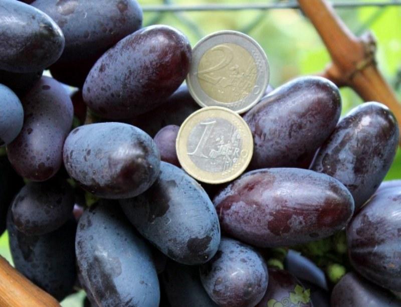Ягоды винограда крупные, имеют вытянутую форму