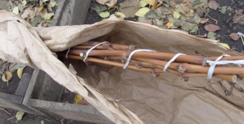 Виноградную лозу обязательно нужно защитить от холодов воздухопроницаемым материалом