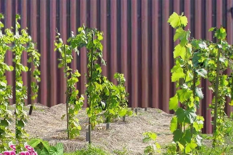 Виноградные саженцы рекомендуется спрятать от северного ветра за забором или постройкой