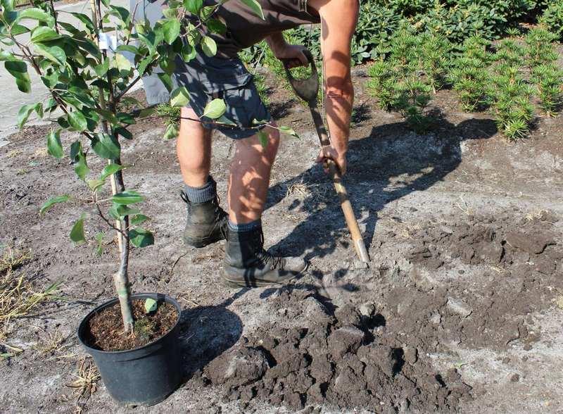 Время для посадки саженцев груши Платоновская наступает ранней весной или в середине осени