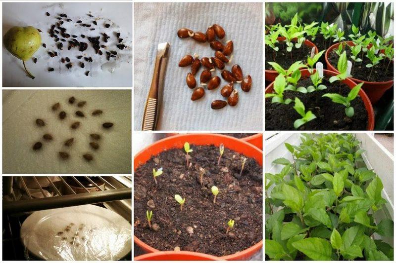 Выращивание дерева из семечка